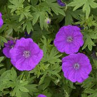 Geranium 'Alpenglow'