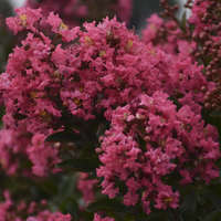 Lagerstroemia 'Cool Beans'