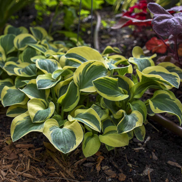 Hosta Mighty Mouse Walters Gardens Inc
