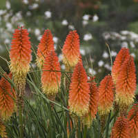 Kniphofia 'Backdraft'