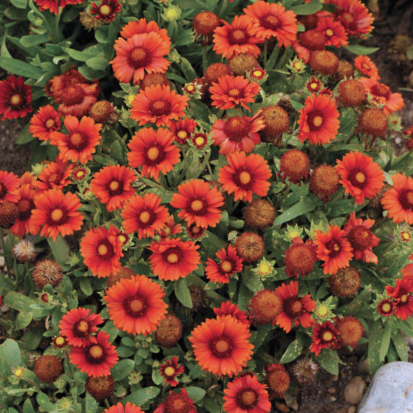 Gaillardia aristata arizona red shades walters gardens inc download images mightylinksfo
