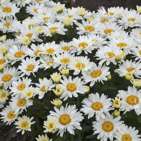 Leucanthemum 'Cream Puff' Shasta Daisy