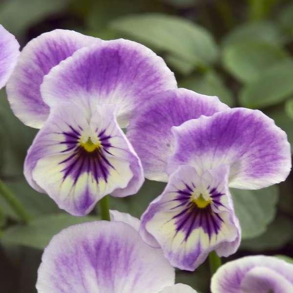Viola 'Painted Porcelain' Tufted Violet