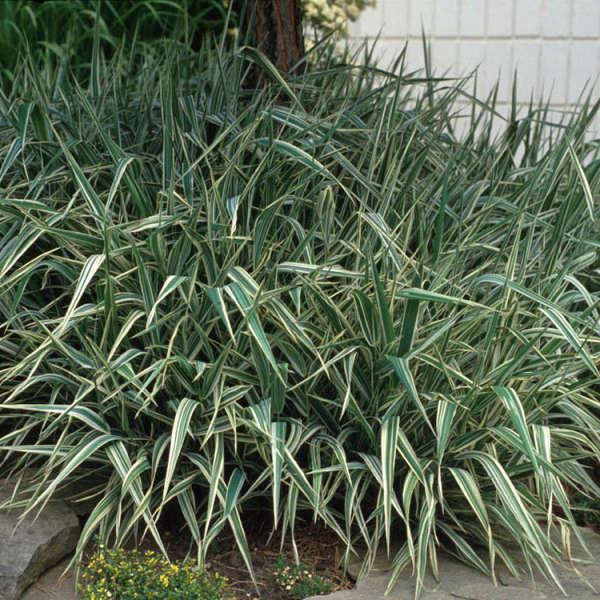 Phalaris 'Picta' Ribbon Grass