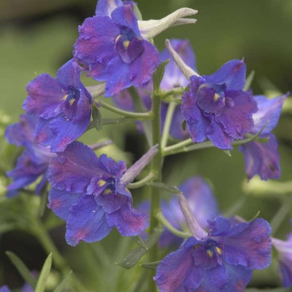 Delphinium 'Blue Butterfly' Dwarf Delphinium
