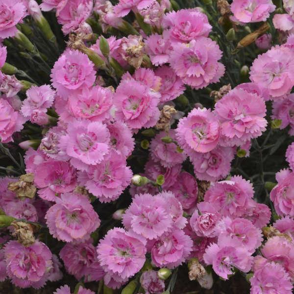 Dianthus 'Sweetie Pie' Pinks