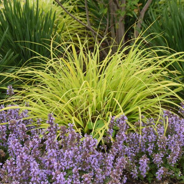 Pennisetum 'Lemon Squeeze' Fountain Grass