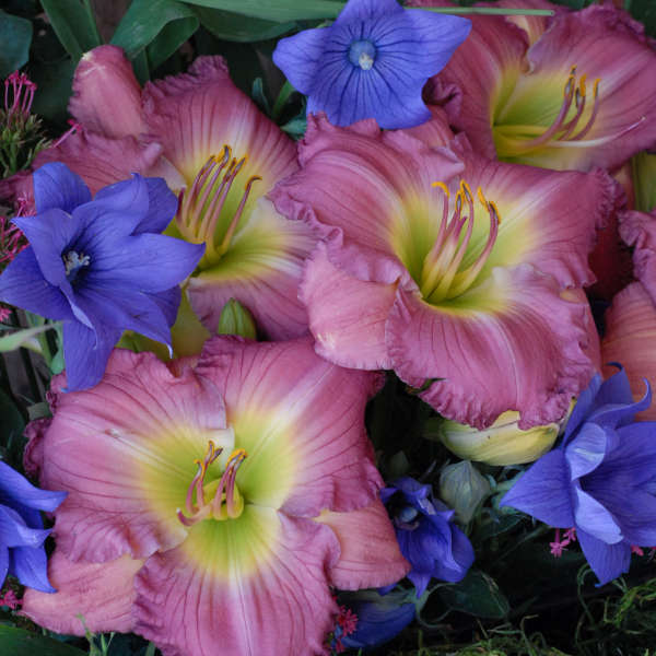 Hemerocallis 'Lavender Stardust' Daylily