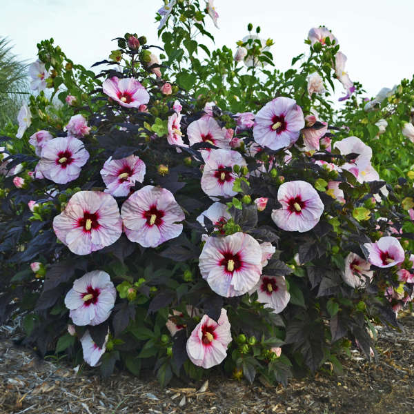 Hibiscus 'Perfect Storm' Rose Mallow