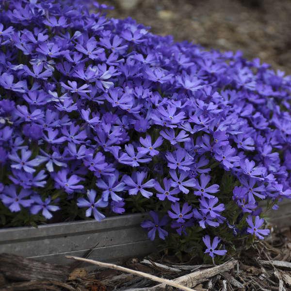 Phlox 'Violet Pinwheels' Hybrid Phlox