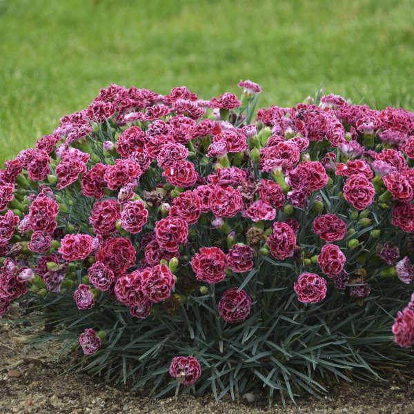 Dianthus 'Cherry Vanilla' Pinks