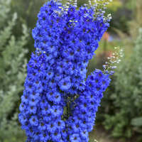 Delphinium 'Million Dollar Blue'