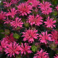 Monarda 'Pardon My Rose'