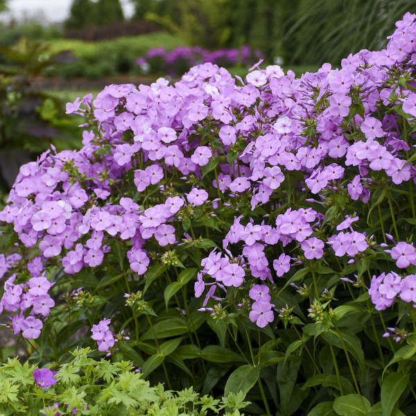 Phlox 'Fashionably Early Princess' Hybrid Phlox
