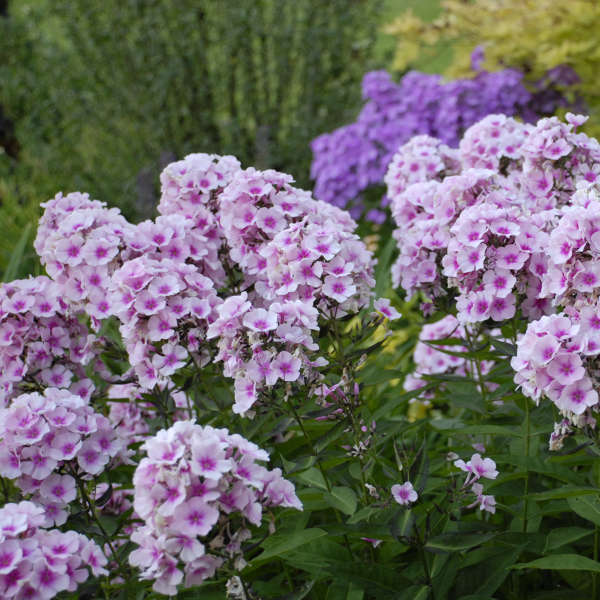 Phlox 'Bright Eyes' Tall Garden Phlox