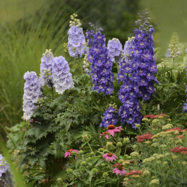 Delphinium NEW MILLENNIUM™ 'Stars' Hybrid Bee Delphinium