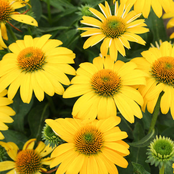 Echinacea SOMBRERO® LEMON YELLOW IMPROVED Coneflower