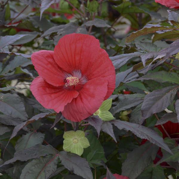 Hibiscus 'Midnight Marvel' Rose Mallow