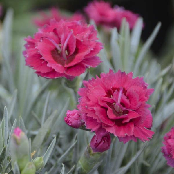 Dianthus 'Razzlepop' Pinks