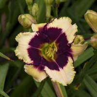 Hemerocallis 'Blackthorne'