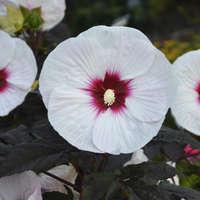 Hibiscus 'Mocha Moon'