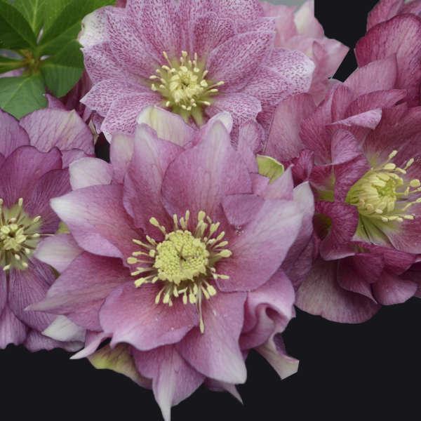 Helleborus 'Maid of Honor' Lenten Rose