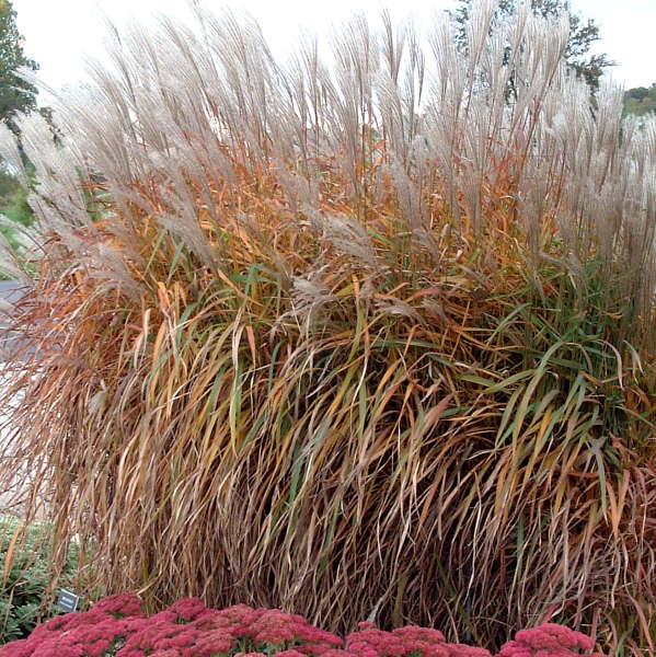 Miscanthus 'Purpurascens' Flame Grass