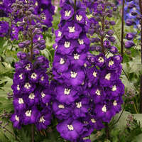 Delphinium 'Purple Passion'