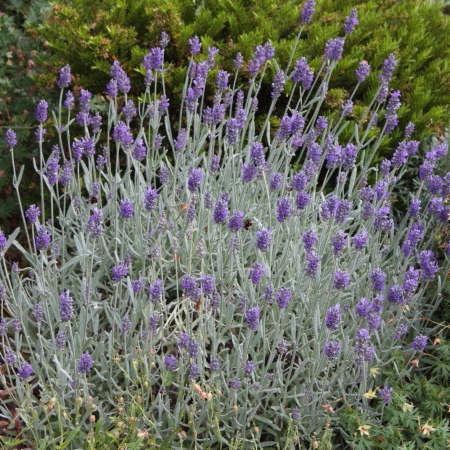 Lavandula 'Silver Mist' English Lavender