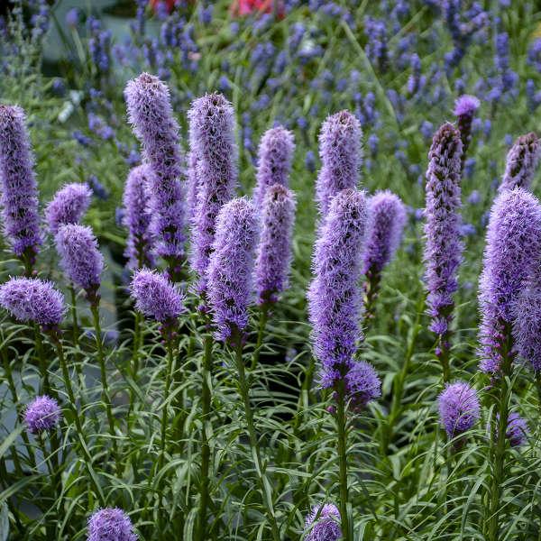 Liatris Spicata Kobold Original Walters Gardens Inc