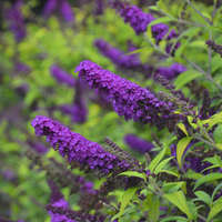 Buddleia 'Crown Jewels'