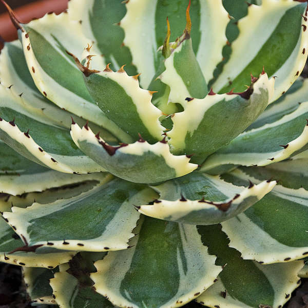 Agave 'Desert Diamond' Variegated Butterfly Agave