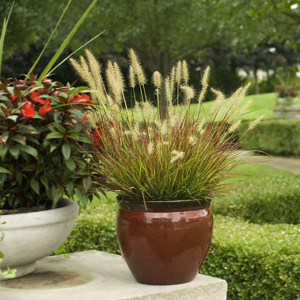 Pennisetum 'Burgundy Bunny' Miniature Fountain Grass