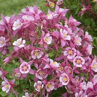 Aquilegia KIRIGAMI™ Rose & Pink