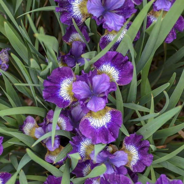 Iris 'Contrast in Styles' Siberian Iris