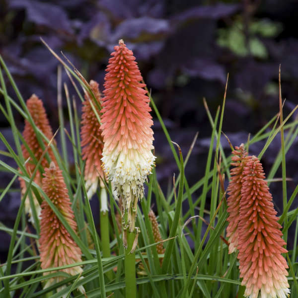Kniphofia 'High Roller' Red Hot Poker