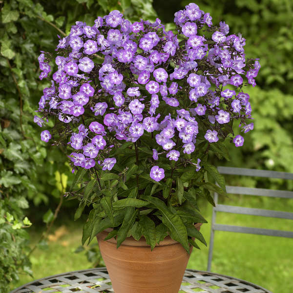 Phlox 'Pixie Miracle Grace' Tall Garden Phlox