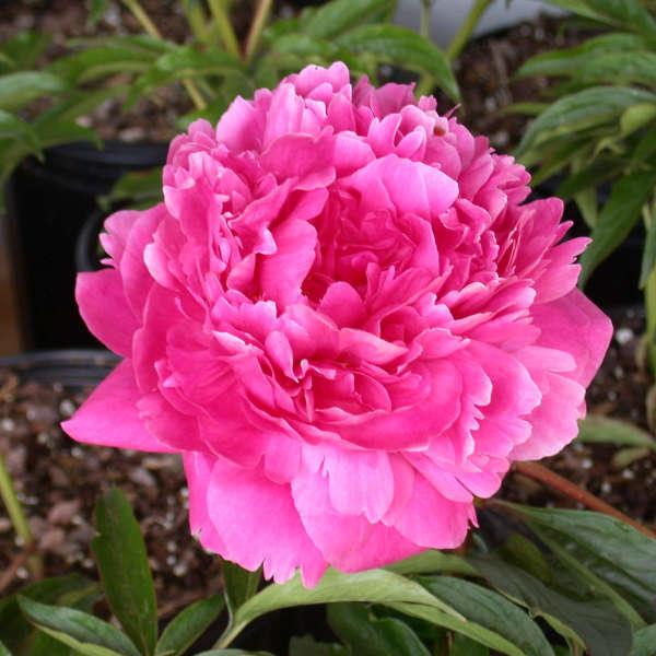 Paeonia 'Kansas' Garden Peony