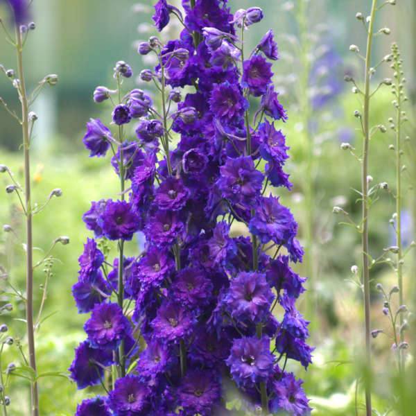 Delphinium 'Pagan Purples' Hybrid Bee Delphinium
