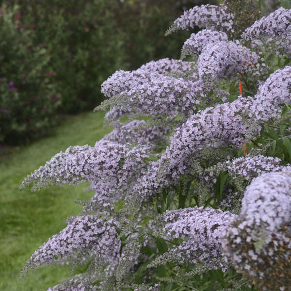 Buddleia 'Grand Cascade' Butterfly Bush
