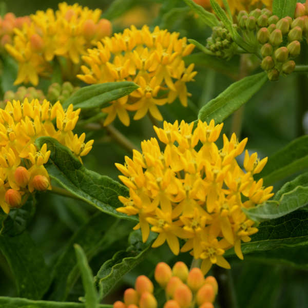 Asclepias 'Blonde Bombshell' Butterfly Weed