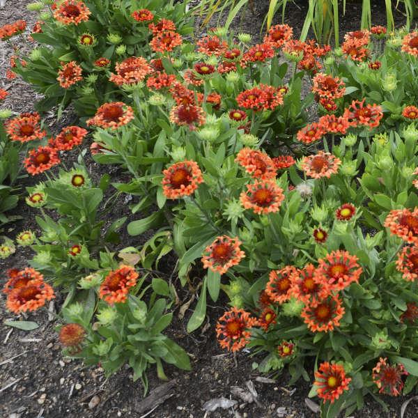 Gaillardia fanfare blaze pp23494 walters gardens inc download images mightylinksfo