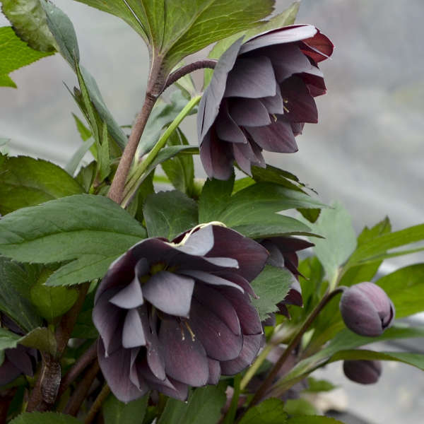 Helleborus 'Dashing Groomsmen' Lenten Rose