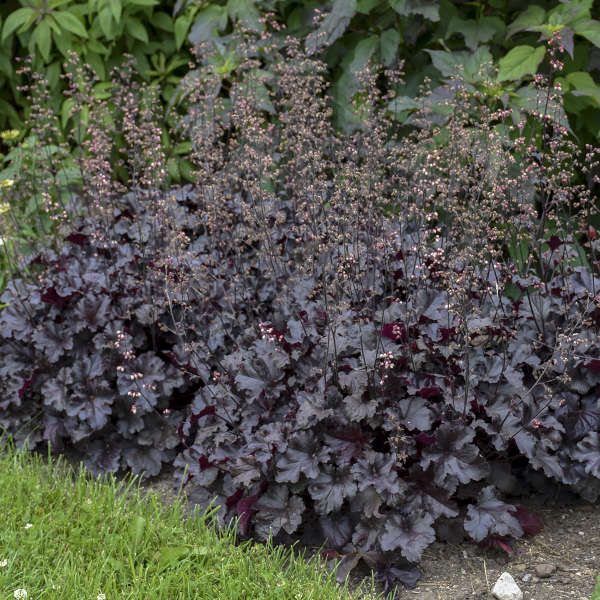 Heuchera 'Black Pearl' Coral Bells