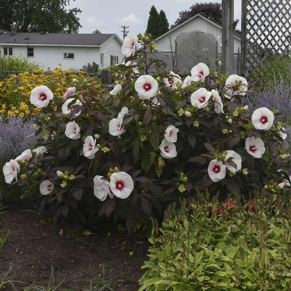 Hibiscus 'Mocha Moon' Rose Mallow
