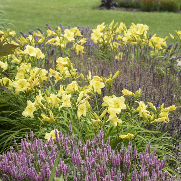 Hemerocallis 'Going Bananas' Daylily