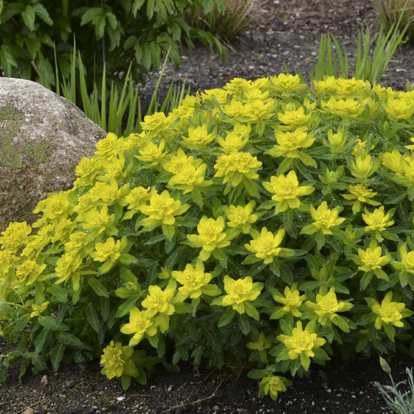 Euphorbia polychroma Cushion Spurge