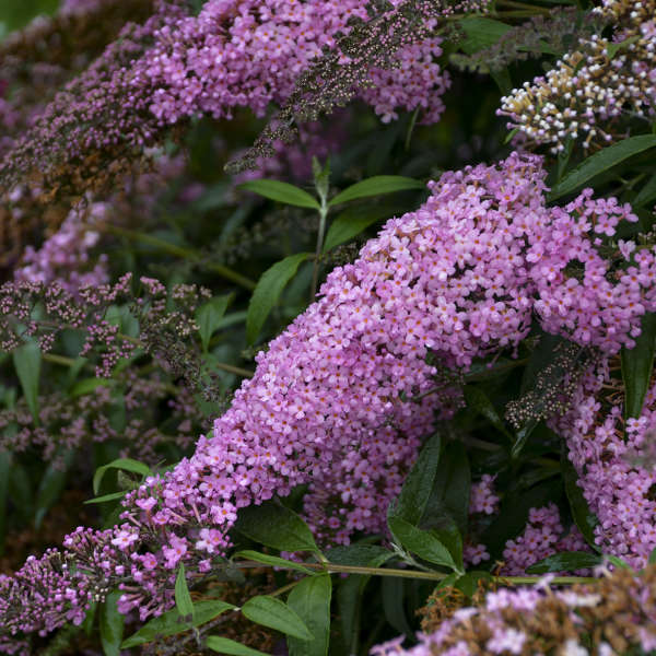 Buddleia 'Pink Cascade' Butterfly Bush