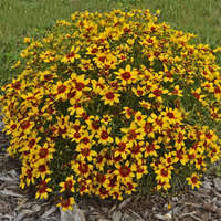 Coreopsis 'Curry Up'