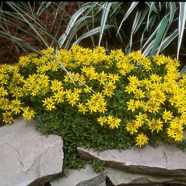 Sedum kamtschaticum walters gardens inc download images mightylinksfo